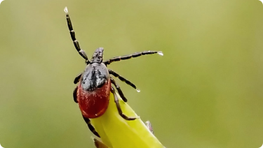 Zoomed image of a tick